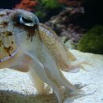 Cuttlefish @ Seattle aquarium